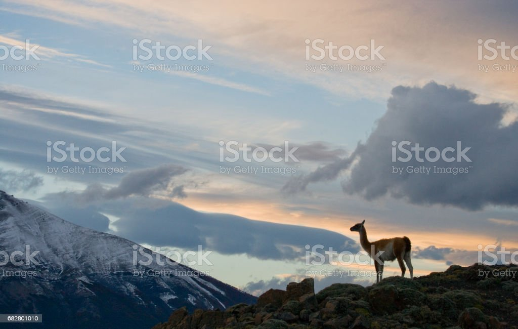 Guanaco stands on the crest of the mountain backdrop of snowy peaks. stock photo