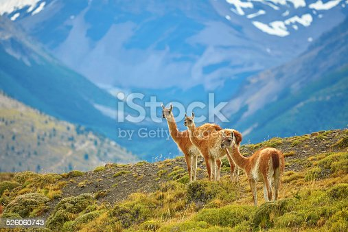 Three guanacoes in Torres del Paine national park, Patagonia, Chile