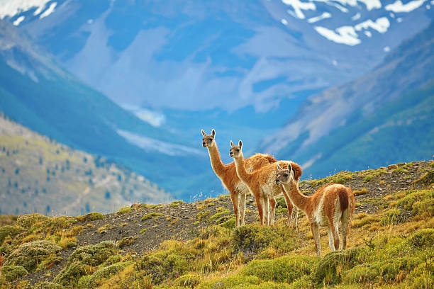 Guanacoes in Torres del Paine national park stock photo