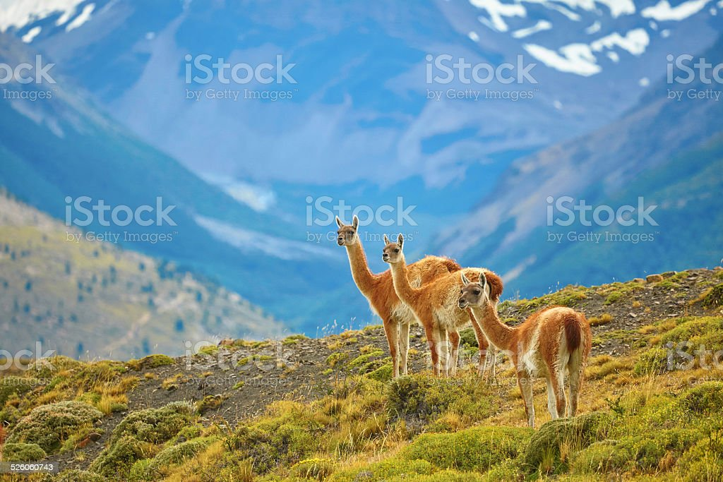 Guanacoes in Torres del Paine national park – Foto