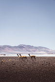 View of scenic volcanic landscape, salt flat and guanacos at Atacama region, Chile