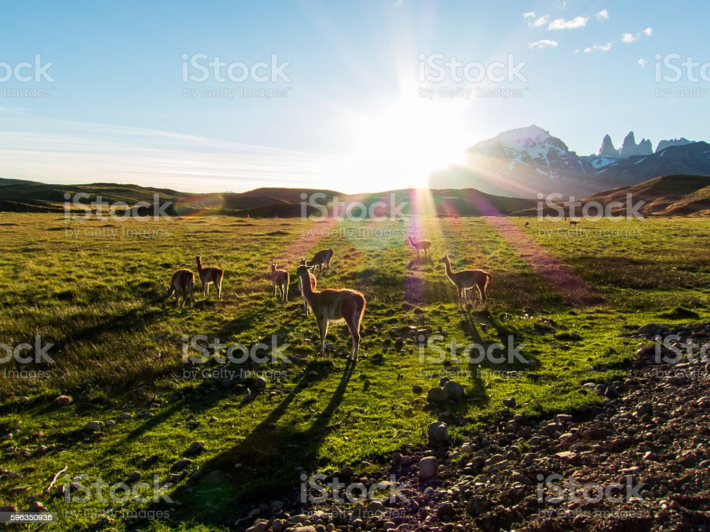 Guanacos at the field royalty-free stock photo