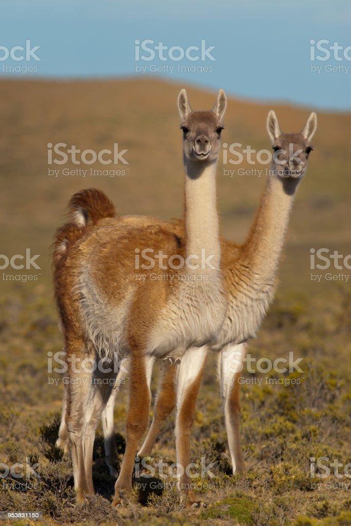 Guanacos (Lama Guanicoe) in Patagonia'n stock photo