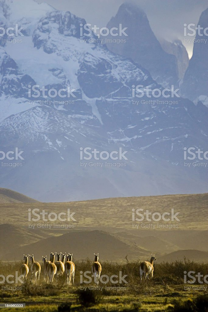 Guanacos in the mountains stock photo