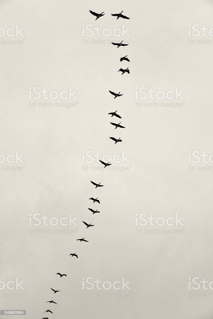 Guanay cormorant stock photo