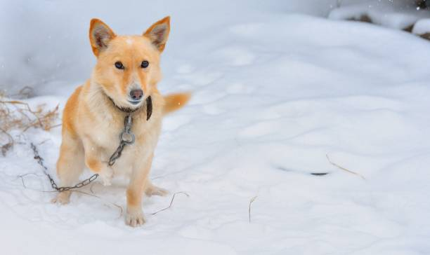 Cтоковое фото Guard dog in the snow