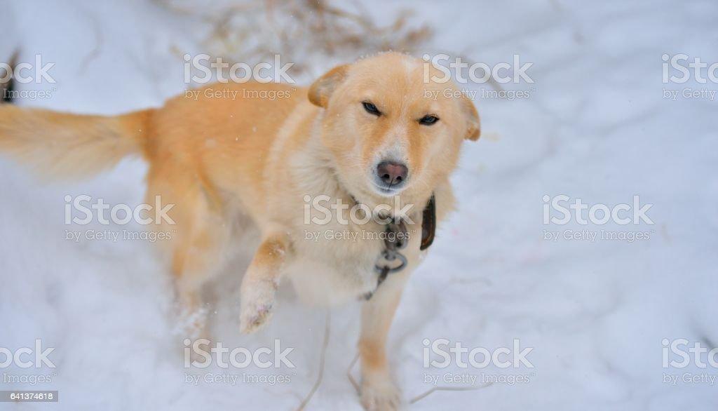Guard dog in the snow Стоковые фото Стоковая фотография