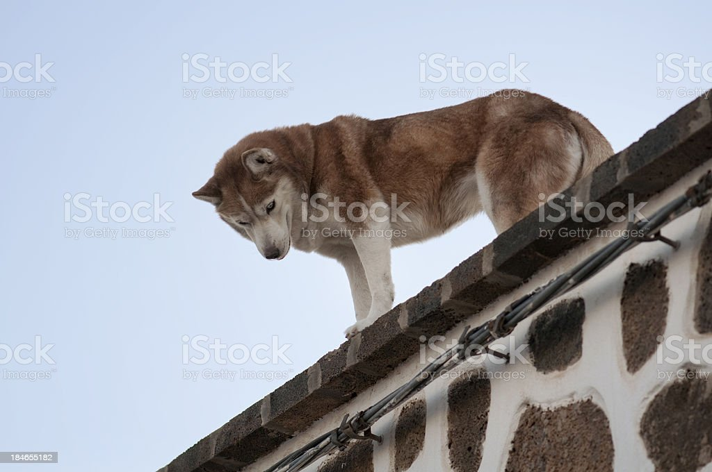 Guard dog looking down off of rooftop royalty-free stock photo