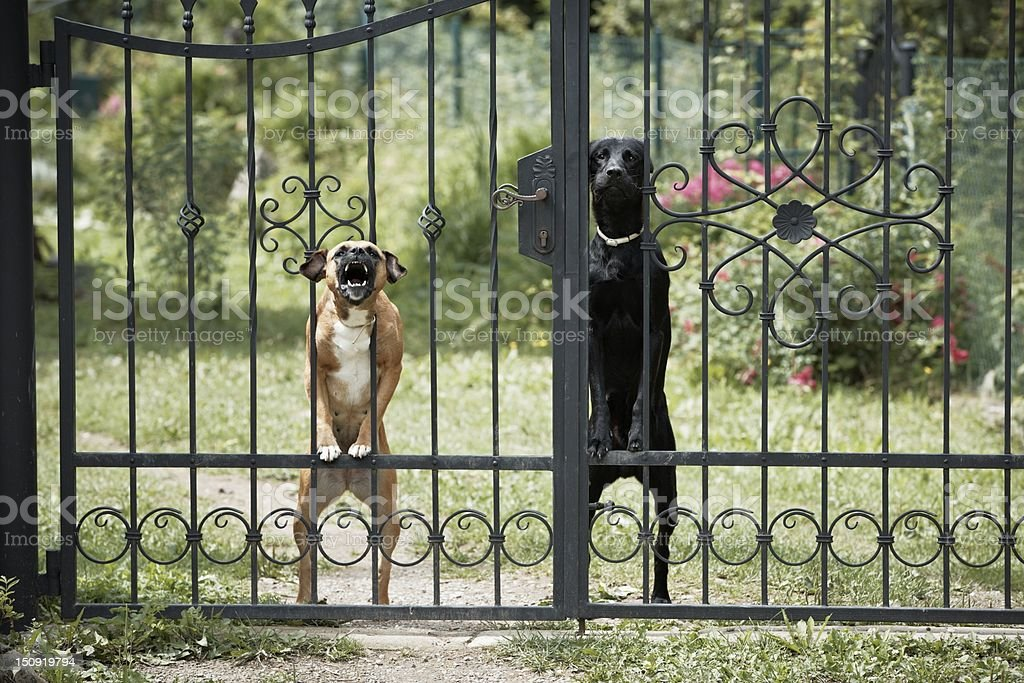 Guard dogs stock photo