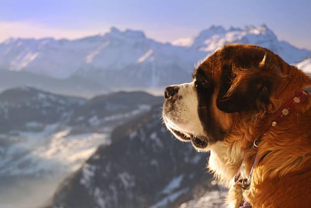 guard der alpen - bernhardiner stock-fotos und bilder