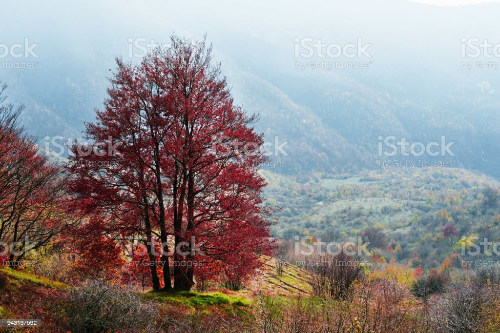 Guardian of the forest, a majestic solitary tree, magically dressed in autumn colors. view on the valley. stock photo