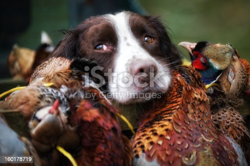 Working spaniel with the days bounty of gamebirds