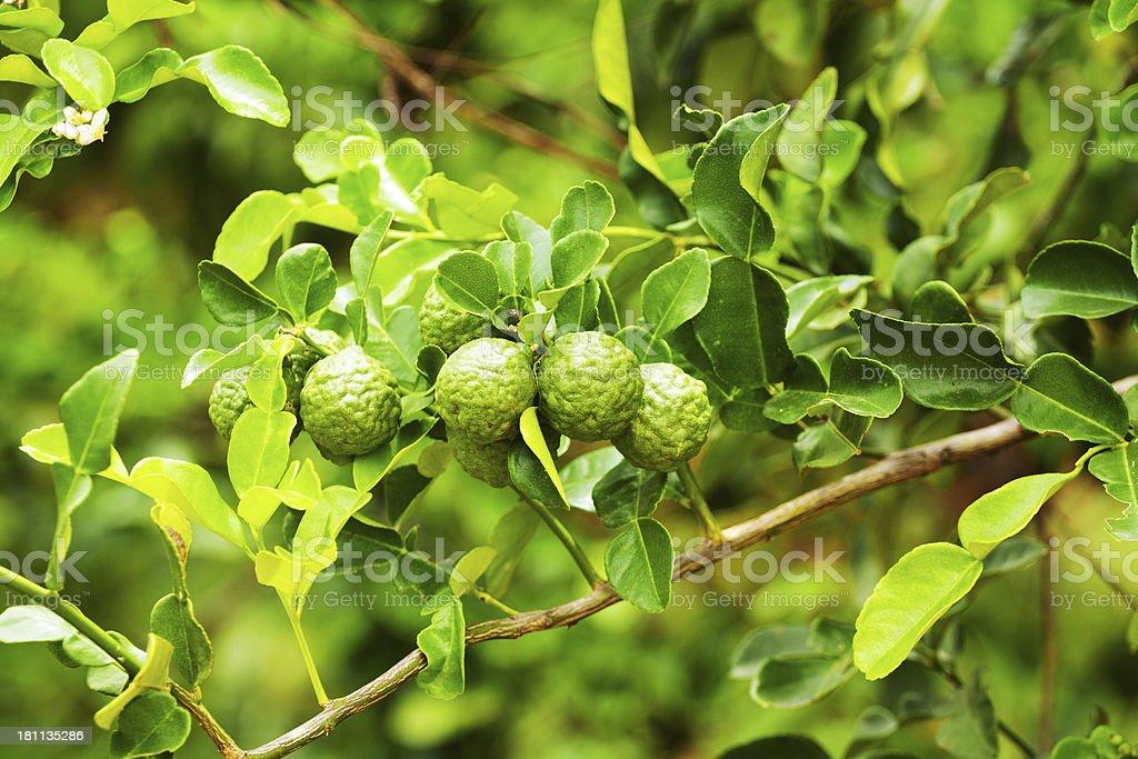 Guava Varieties Images