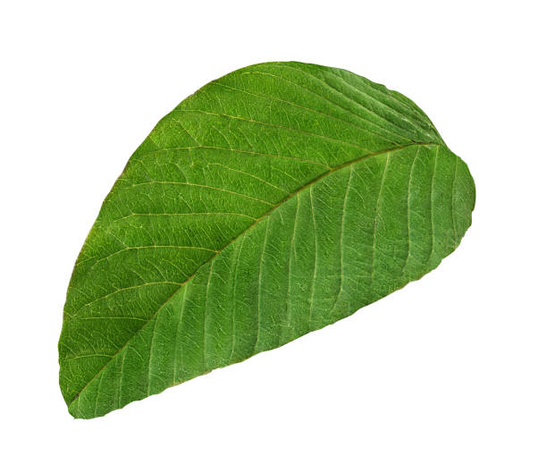 guava leaf  isolated on white guava leaf  isolated on white background guava stock pictures, royalty-free photos & images