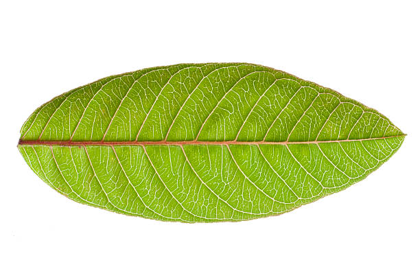 Guava leaf Guava leaf isolated on white background guava stock pictures, royalty-free photos & images