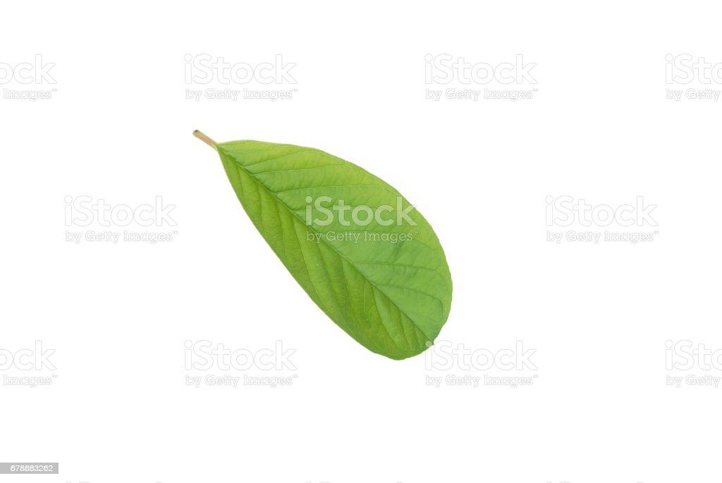 feuilles de goyave photo libre de droits