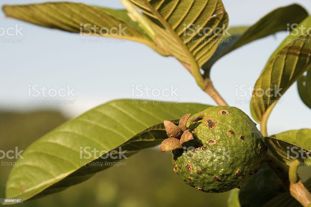 Guava on a tree royalty-free stock photo