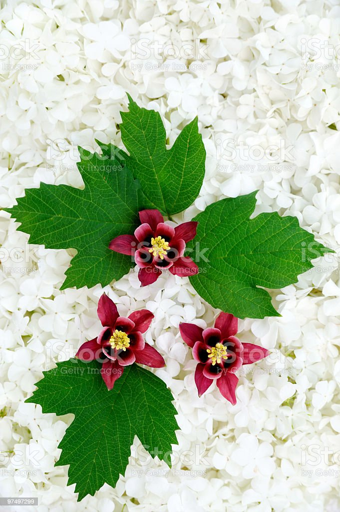 Guelder rose and columbine  blossoms - background royalty-free stock photo