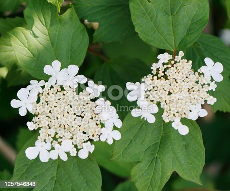 Deciduous shrub to 4m, with hairless, greyish, angled young twigs; buds with scales. Leaves palmate with 3, occasionally 5, toothed lobes, usually hairy beneath. Flowers white, in broad flat-topped clusters, 4-5-10.5cm across; inner flowers fertile, 4-7mm, surrounded by a few large sterile flowers, 15-20mm. Ripe berry red. Habitat: Woodland, fen Carr, on wet soils. Flowering Season: June-July. Distribution: Throughout Europe, except the far north.  Guelder Rose grows in the Netherlands in Hedgerows, Woodlands and Dunes and also planted in Parks and Gardens.