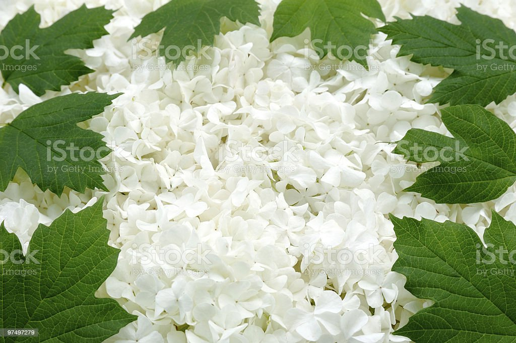 Guelder rose blossoms and leaves - background royalty-free stock photo