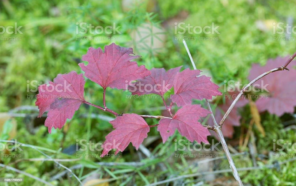 Guelder-rose, Viburnum opulus twig in autumn colors foto royalty-free