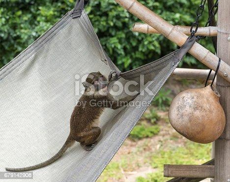 Guenon Monkey on a tarp