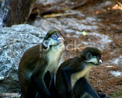 A pair of Guenon Monkeys, one of them looking up towards the sky.