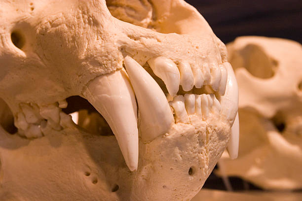 Polar Bear Skull Stock Photos, Pictures & Royalty-Free Images - iStock