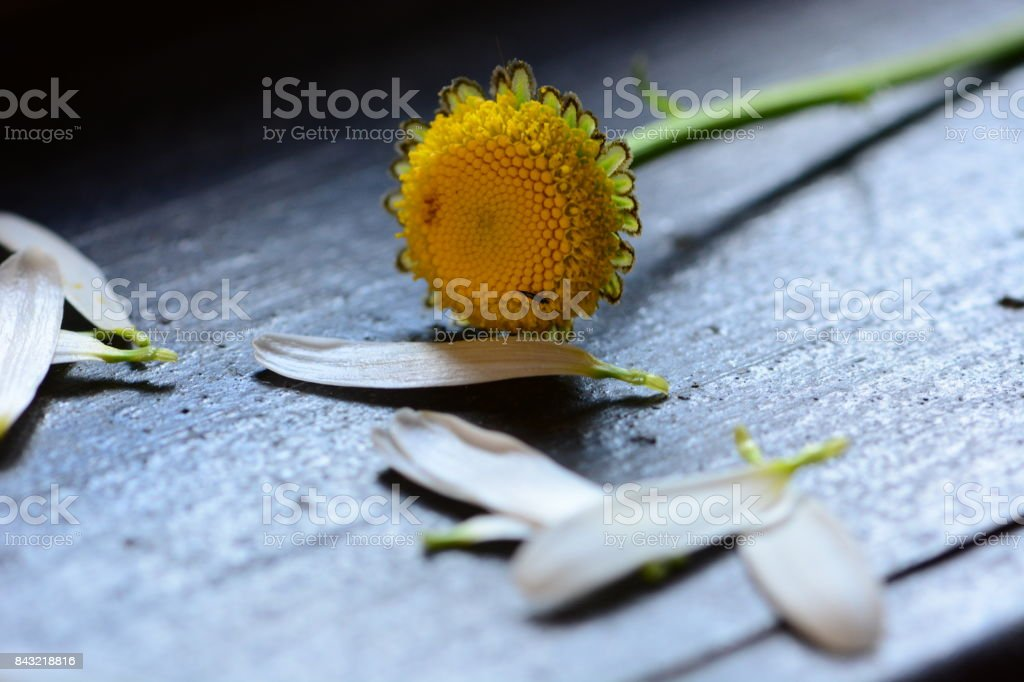 Guessing on a camomile flower stock photo