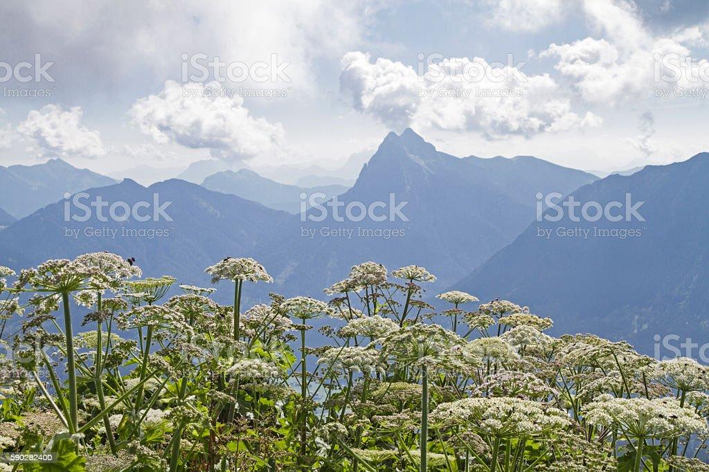 Guffert with hemlock plants stock photo