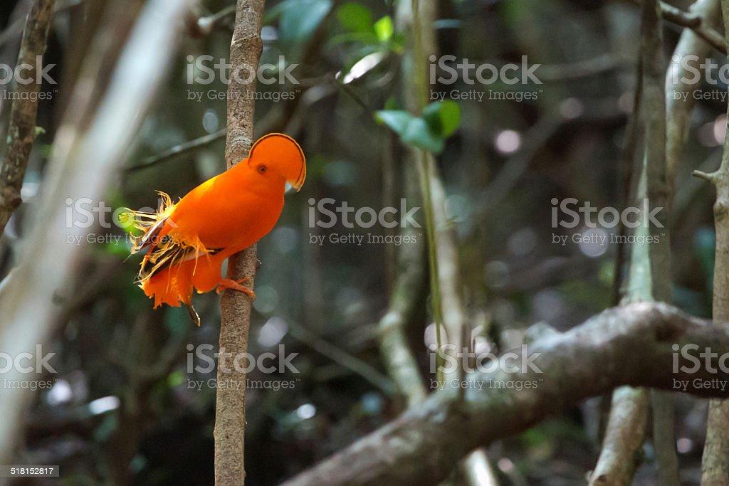 Guianan Cock of the rock, wunderschönen Vögel in Brasilien – Foto
