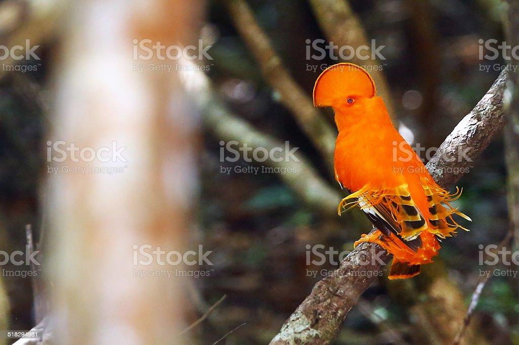 Guianan Cock of the rock, schöne Vogel der Regenwald – Foto
