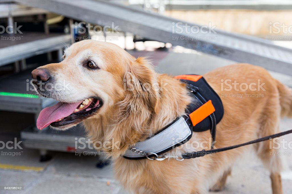 Guide and assistance dog stock photo