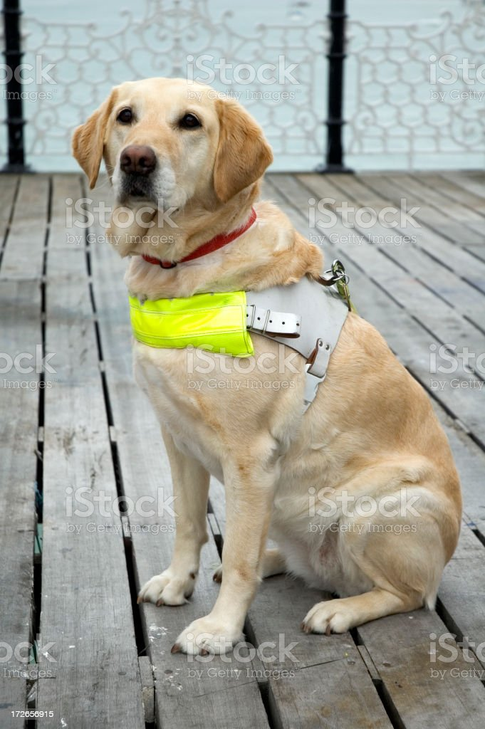 Guide Dog royalty-free stock photo