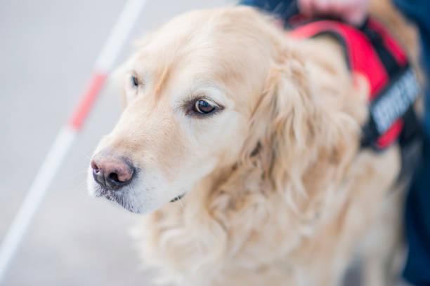 blindenhund - dressierter hund stock-fotos und bilder
