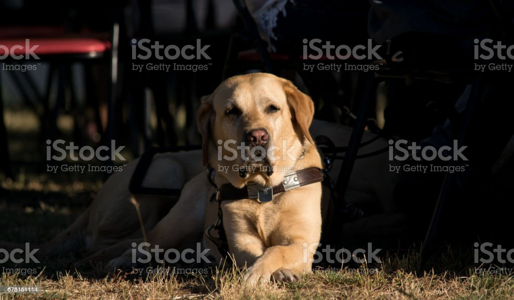 A guide dog waiting orders. stock photo