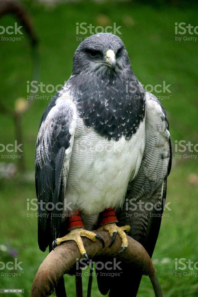 Águila chilena - foto de acervo