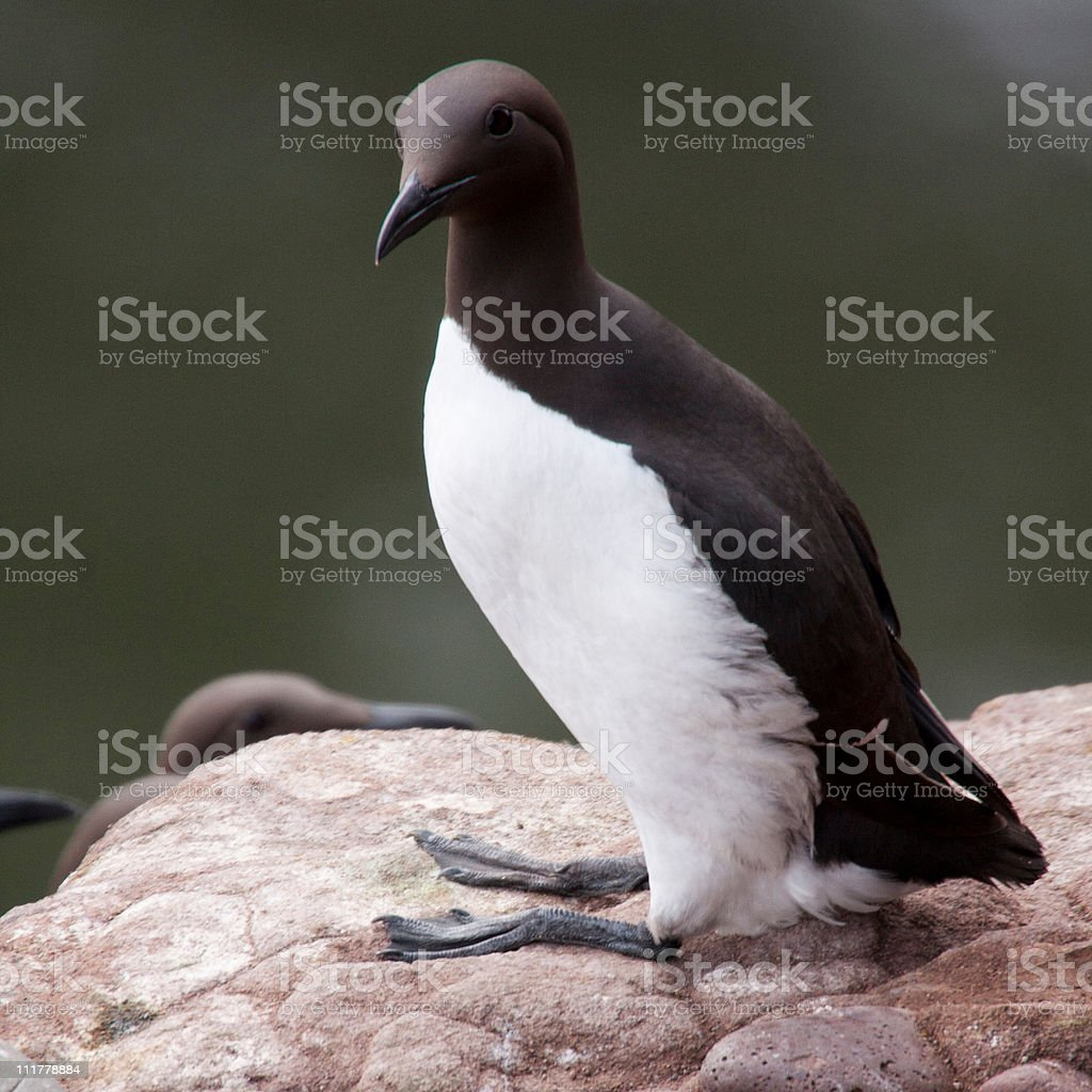 Guillemot at Fowlsheugh royalty-free stock photo