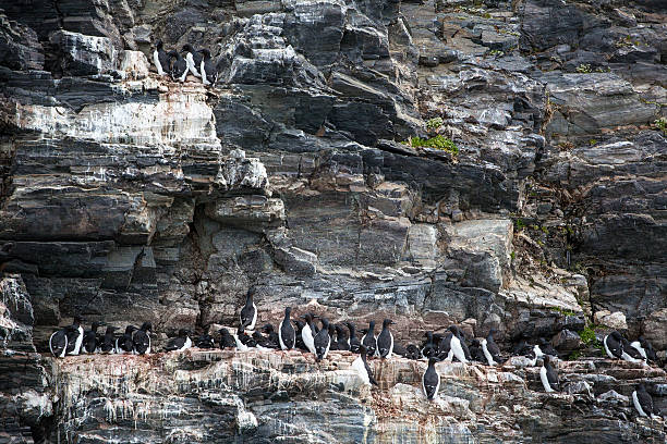 guillemot birds on rock in Arctic Svalbard guillemot birds on rock in Arctic Svalbard auk stock pictures, royalty-free photos & images
