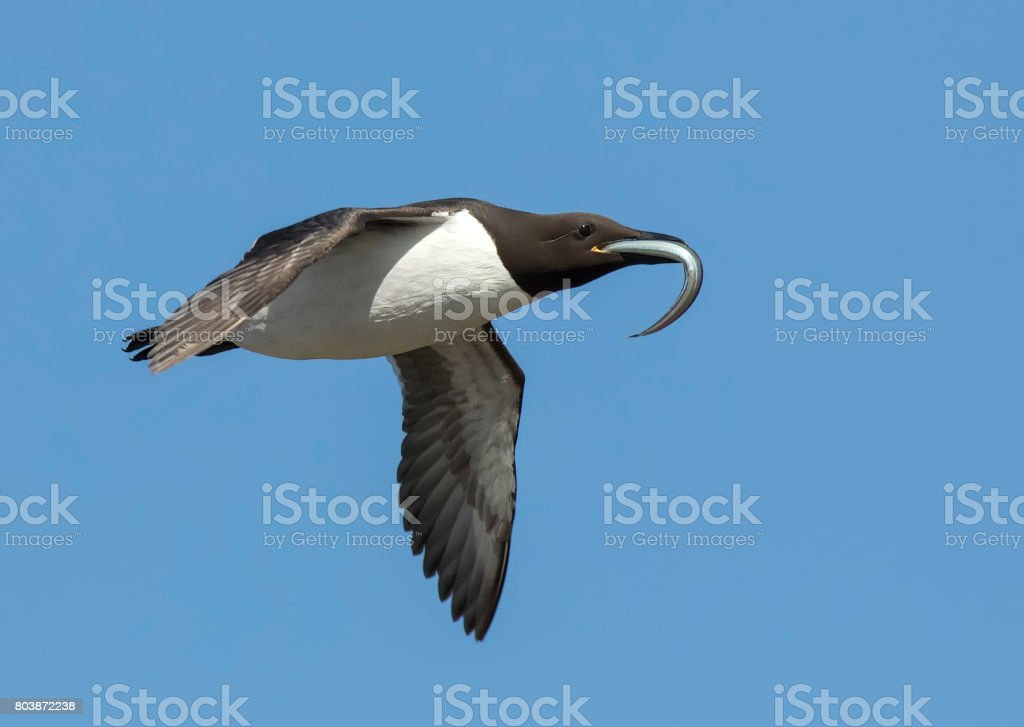 Guillemot flying with fish stock photo