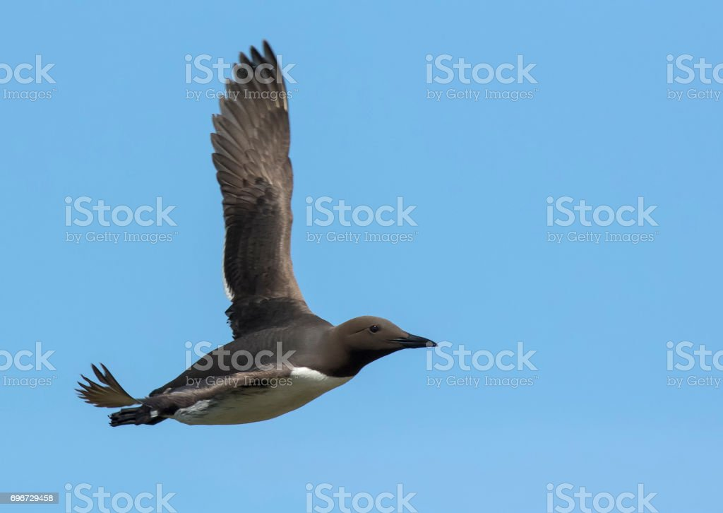 Guillemot in Flight stock photo