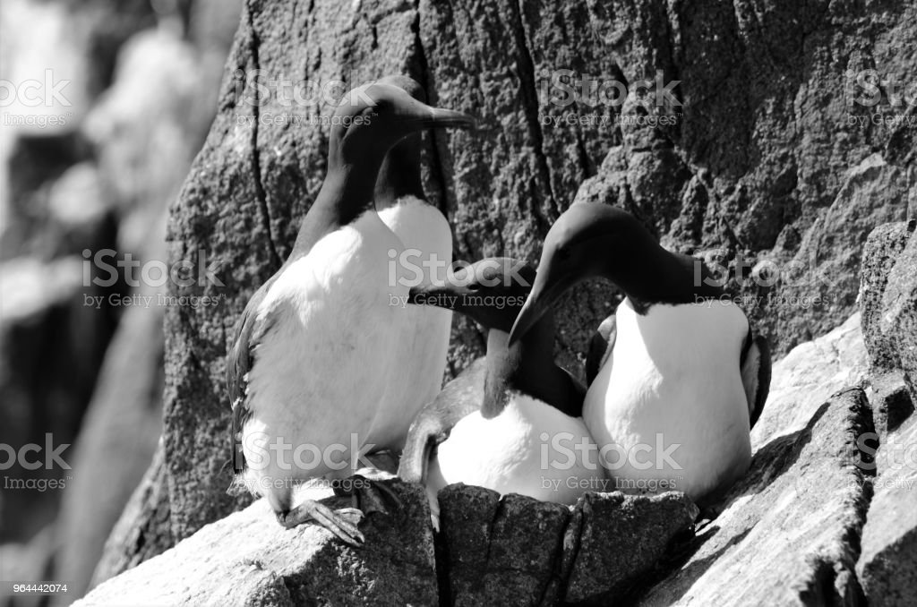 Guillemots on Isle of May - Royalty-free Animal Stock Photo