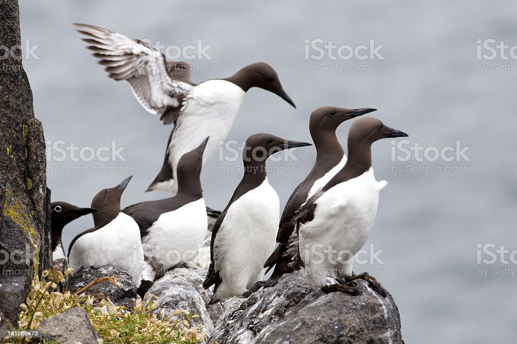Guillemots on the Isle of May, Scotland stock photo