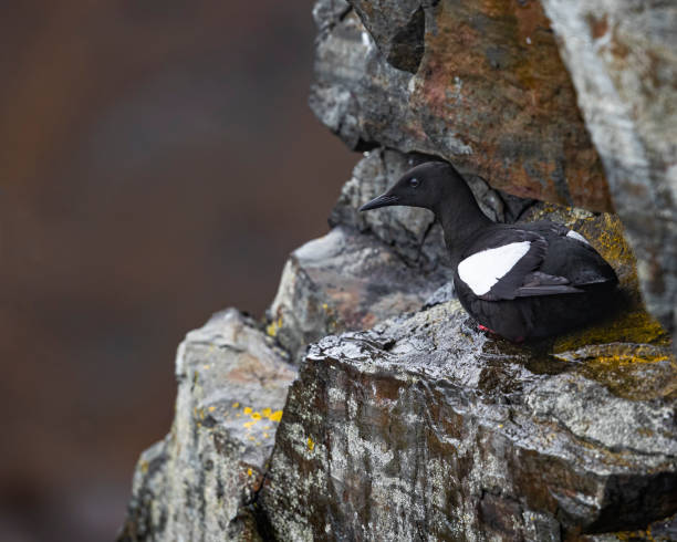 Guillemots stock photo