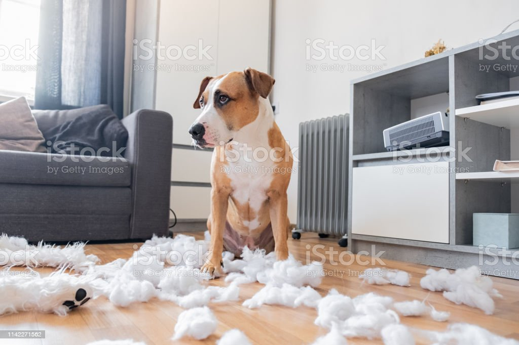 Guilty dog and a destroyed teddy bear at home Staffordshire terrier sits among a torn fluffy toy, funny guilty look Animal Stock Photo