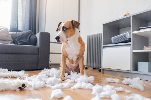 Guilty dog and a destroyed teddy bear at home Staffordshire terrier sits among a torn fluffy toy, funny guilty look mischief stock pictures, royalty-free photos & images