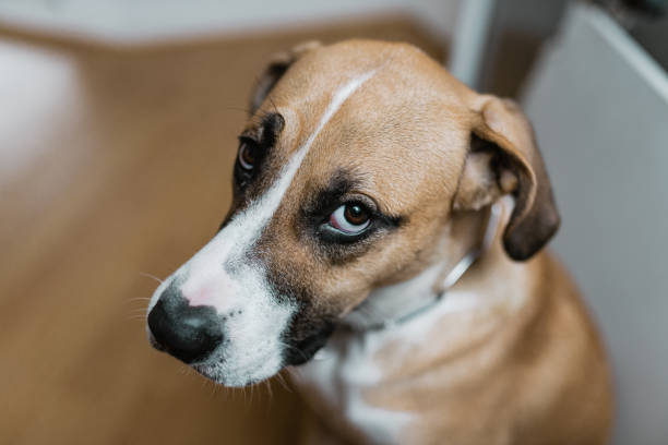 Guilty dog looking at you Guilty dog looking at you guilty stock pictures, royalty-free photos & images