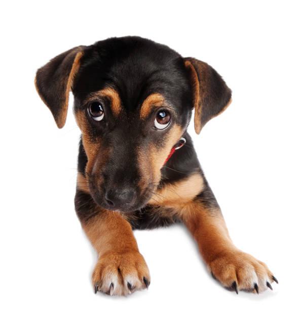 Guilty dog picture id1129191011?b=1&k=6&m=1129191011&s=612x612&w=0&h=uzjr4nfkws91uuhniwrj123hpnhbciwq 24qin42su4=