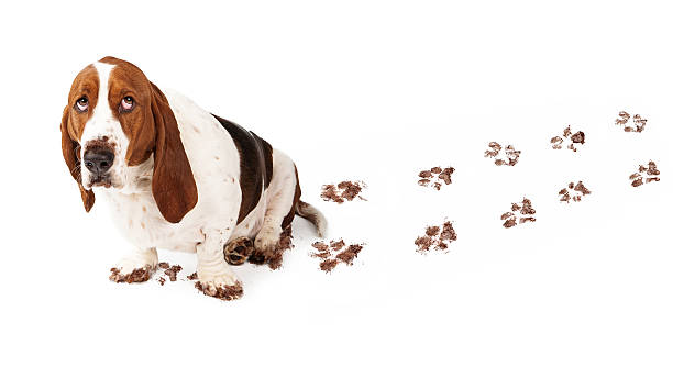 Best Paw Print Stock Photos Pictures Amp Royalty Free