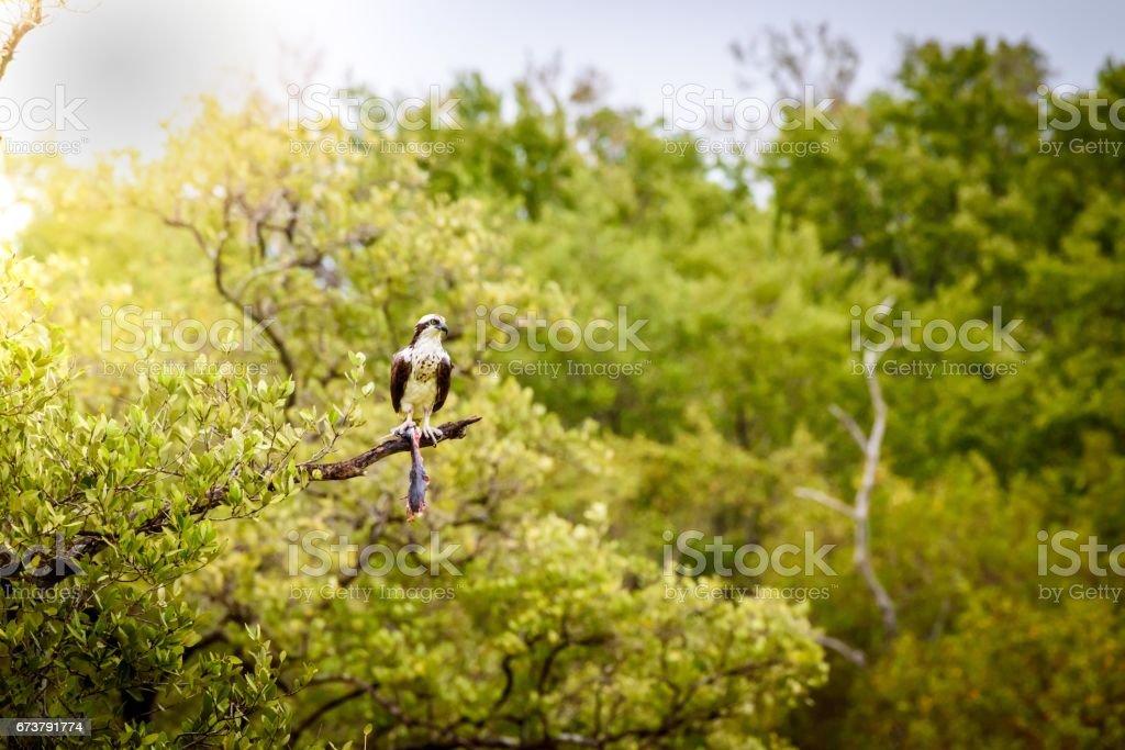 Guincho-Pandion haliaetus photo libre de droits